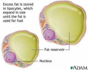 Fat inside a fat cell called a lipocyte